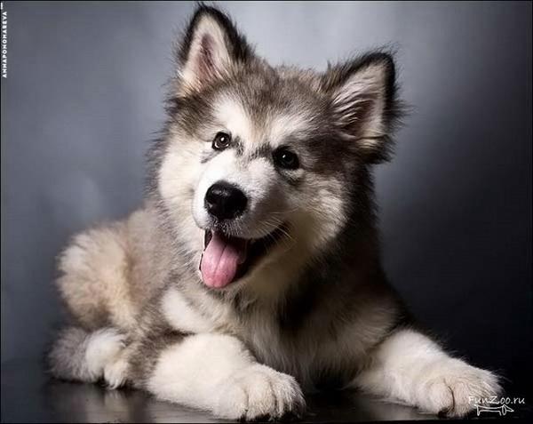 маламут щенок