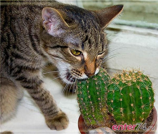 кот ест кактус растения