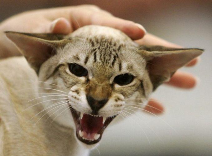 гладить кошку недовольная