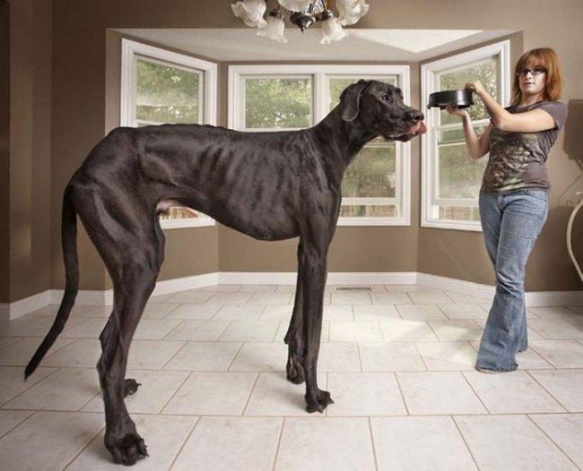 Датский дог из американского штата Мичиган по кличке Зевс ростом 1,12 метра попал в Книгу рекордов Гиннеса как самая высокая собака в мире.  Для того, чтобы прокормить четвероногого любимца весом более 70 килограммов, хозяйке Зевса Дэнис Дорлаг (Denise Doorlag) ежедневно требуется 14 килограммов корма.  «Нам пришлось купить грузовичок, чтобы возить его. А если он наступит вам на ногу — будет синяк», — рассказала журналистам Дорлаг.  Как сообщает газета Huffington Post, к женщине на улицах часто обращаются с вопросом, кого она выгуливает на поводке — собаку или лошадь.  «Рекорд» Зевса занесен в новый выпуск Книги рекордов Гиннеса. На интернет-сайте Книги информация о «самой высокой из живущих собак» пока не обновилась — там по-прежнему указан «Великан Джордж» из штата Аризона. Его рост составляет 1,092 метра. Рекорд был зафиксирован 15 февраля 2010 года.