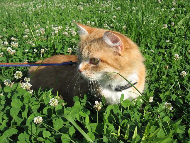 кошка на шлейке на улице