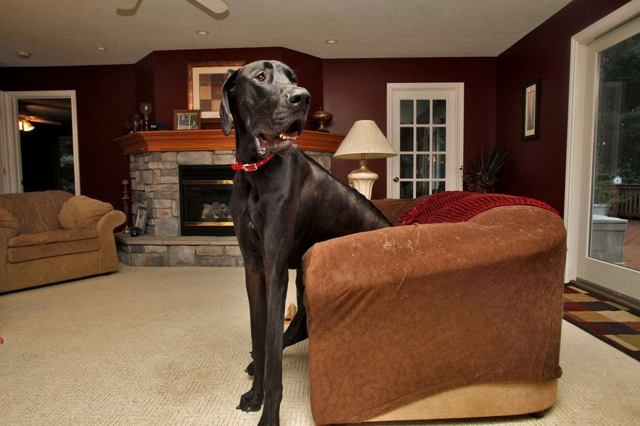 Самая высокая из живущих собак – Зевс
