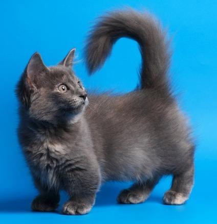 Манчкинская кошка