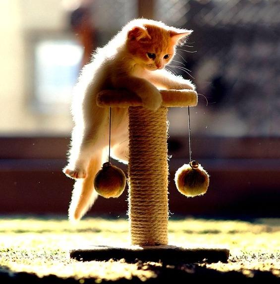 когтеточка и котенок