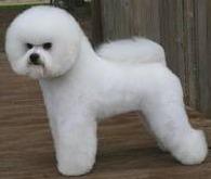 стрижка собак бишон